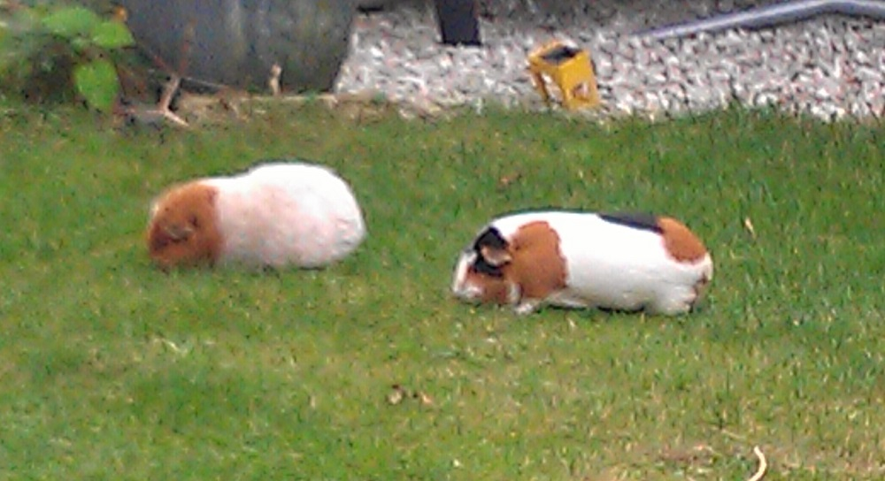 The life of our guinea pigs in the back yard pets