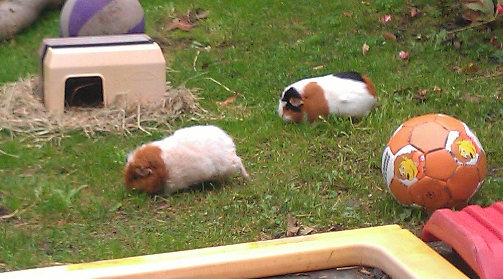 The life of our guinea pigs in the back yard